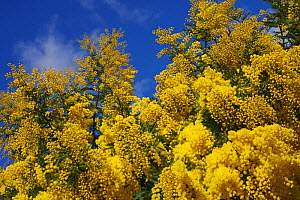 Mimosa (Acacia dealbata) flowers, in botanic garden, Var, Provence, France, February.  -  Pascal Pittorino