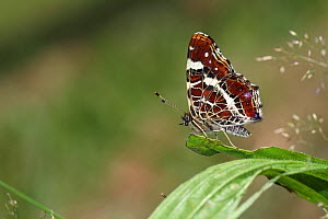 Map butterfly (Araschinia levana) on leaf of Ribwort plantain (Plantago lanceolata) in a meadow, Massat, Ariege, Pyrenees, France, July. - Pascal Pittorino