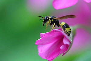 European potter wasp (Ancistrocerus gazella) on Wood sorrel flower (Oxalis articulata), Toulon, Var, Provence, France, October. - Pascal Pittorino