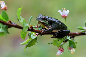 Mediterranean tree frog (Hyla meridionalis) on a branch of flowering Plum tree (Prunus domestica) in the rain, Var, Provence, France, March.  -  Pascal Pittorino