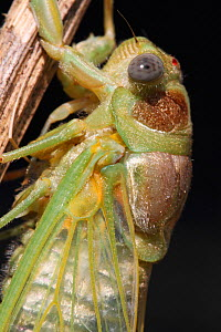 Cicada (Lyristes plebejus) after molt, close up of portrait, Var, Provence, France, July. - Pascal Pittorino