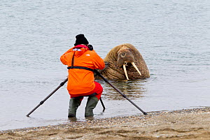 Photographer taking pictures of Walrus (Odobenus rosmarus) hauled out in shallow water, Spitsbergen, Svalbard Archipelago, Norway, Arctic Ocean. July.  -  Franco  Banfi