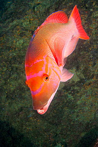 Red barred hogfish (Bodianus scrofa), Santa Maria Island, Azores, Portugal, Atlantic Ocean  -  Franco  Banfi