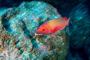 Red barred hogfish (Bodianus scrofa) in fast moving current, Santa Maria Island, Azores, Portugal, Atlantic Ocean  -  Franco  Banfi