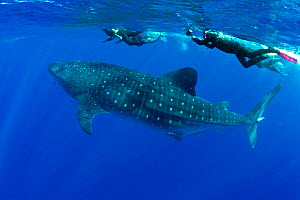 Snorkelers swimming with Whale shark (Rhincodon typus) Santa Maria Island, Azores, Portugal, Atlantic Ocean  -  Franco  Banfi