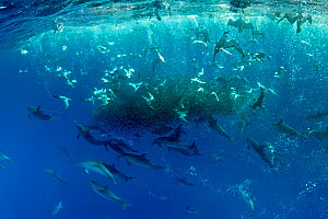 Cory's shearwaters (Calonectris diomedea)  diving among a mass of shoaling fish to feed, along with Atlantic spotted dolphins (Stenella frontalis), Formigas Islet dive site, Azores, Portugal, Atlantic... - Franco  Banfi