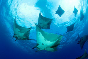 Devilrays (Mobula tarapacana) shoal near the surface, Ambrosio dive site, Santa Maria Island, Azores, Portugal, Atlantic Ocean - Franco  Banfi