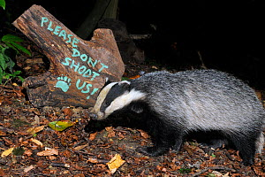 European badger (Meles meles) and message 'Please don't shoot us' painted on log, protesting against badger culling, Wiltshire, UK, September 2015.  Taken by a remote camera trap.  -  Nick Upton