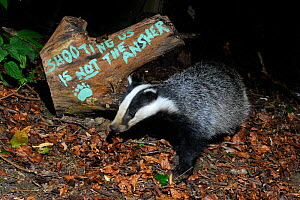 European badger (Meles meles) and message 'Shooting us is not the answer' painted on tree log, protesting against badger culling, Wiltshire, UK, September 2015.  Taken by a remote camera trap.  -  Nick Upton