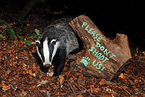 European badger (Meles meles) and message 'Please don't shoot us' protesting against badger culling painted on log. Wiltshire, UK, September 2015.  Taken by a remote camera trap.  -  Nick Upton