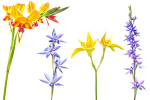 Variety of orchids from the Banksia Woodland, Swan Coastal Plain. Including Pansy orchid (Diuris magnifica), Slender sun orchid (Thelymitra vulgaris), Cowslip orchid (Caladenia flava), Plain sun orchi... - MYN / Corne van der Linden