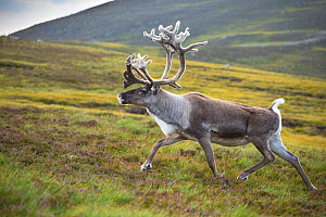 Reindeer (Rangifer tarandus) adult male, antlers in velvet, walking across upland moor, Cairngorms, Scotland, UK, August.  -  Mark  Hamblin