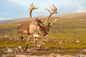 Reindeer (Rangifer tarandus) adult, antlers in velvet, walking across upland moor, Cairngorms, Scotland, UK, August.  -  Mark  Hamblin