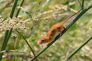 Harvest mouse (Micromys minutus) using its gripping tail to aid its descent of a Common hogweed (Heracleum sphondylium) stem after release into the wild, Moulton, Northampton, UK, June.  -  Nick Upton