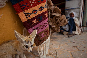 Fennec fox (Vulpes zerda) displayed in the market (souk), of a Tunisian town. This species is adapted to silence and solitude of the desert, this individual that had been caught as an adult showed cle...  -  Bruno D'Amicis