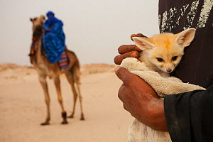Fennec fox (Vulpes zerda) pup, aged a few weeks, caught in the wild and shown at a famous camel trekking site for tourists in the hope of either selling it or being paid for photos, Kebili Governorate... - Bruno D'Amicis