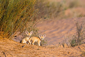 Fennec fox (Vulpes zerda) pups playing outside of den, Grand Erg Oriental, Kebili Governorate. Tunisia.  -  Bruno D'Amicis
