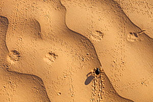 Tenebrionid beetle (Tenebrionidae) crossing Fennec fox (Vulpes zerda) tracks on sand. Grand Erg Oriental, Kebili Governorate. Tunisia.  -  Bruno D'Amicis