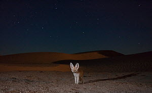 Fennec fox (Vulpes zerda) adult at night in sand dunes with starry sky,  Grand Erg Oriental, Kebili Governorate, Tunisia. Camera trap image  -  Bruno D'Amicis