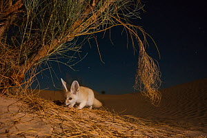 Fennec fox (Vulpes zerda) foraging at night, Grand Erg Oriental, Kebili Governorate. Tunisia. Taken with remote camera trap.  -  Bruno D'Amicis