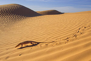 Desert monitor (Varanus griseus) moving across sand dunes,  showing characteristic tracks, in the Sahara, Tunisia.  -  Bruno D'Amicis