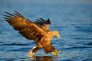White-tailed sea eagle (Haliaeetus albicilla) flying, and hunting over sea, Norway, July. - Sven  Zacek