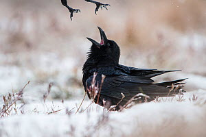 Ravens (Corvus corax) fighting in bog during snowfall, Tartumaa, Estonia. December.  -  Sven  Zacek