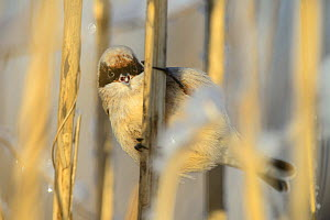 Penduline tit (Remiz pendulinus) overwintering in Estonia and searching for food in reeds in Tartumaa, Estonia. January.  -  Sven  Zacek