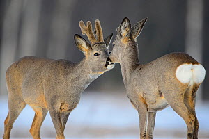 Roe deer (capreolus capreolus) buck with velvet antlers and fawn,  Tartumaa, Estonia, March.  -  Sven  Zacek