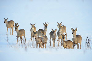 Roe Deer (Capreolus capreolus) herd in snowy field in Tartumaa, Estonia, March. - Sven  Zacek