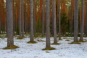 Scots pine (Pinus sylvestris) forest at sunset, with patches of snow on the ground in Valgamaa,  Estonia. April. - Sven  Zacek
