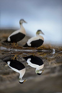 Eider ducks (Somateria mollissima) males reflected in a small pond, Longyearbyen, Svalbard, Norway. June. - Sven  Zacek