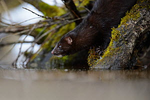 American mink (Mustela vison) just about to dive into river. Tartumaa, Estonia, January. Introduced species.  -  Sven  Zacek