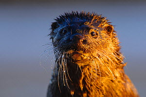 Otter (Lutra lutra) portrait, in golden sunset light,  Southern Estonia, December.  -  Sven  Zacek