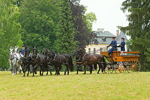 Traditionally dressed staff driving rare black and white Kladruber stallions, at the Great Riding Festival, in Slatinany National Stud, Pardubice Region, Czech Republic. June 2015.  -  Kristel  Richard