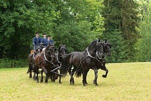 Staff in traditional costumes driving six rare black Kladruber horses / stallions, at the Great Riding festival, in Slatinany national stud, Pardubice Region, Czech Republic. June 2015.  -  Kristel  Richard