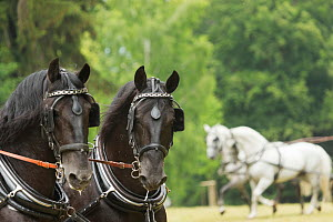 Headshot of two rare black Kladruber stallions, harnessed for driving, at the Great Riding festival, in Slatinany national stud, Pardubice Region, Czech Republic. June 2015. - Kristel  Richard