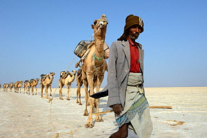 Salt caravans made up of hundreds of Dromedary camels (Camelus dromedarius) and their pullers transporting salt slabs cut from Lake Assale to the Mekele Market, Danakil depression, Afar region, Ethiop... - Eric Baccega