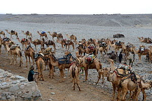 Early morning at Ahmed Ela, with caravan of Dromedary camels (Camelus dromedarius) and their pullers going to pick up salt at Lake Assale, Danakil Depression, Afar region, Ethiopia, March 2015. - Eric Baccega