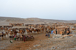 Early morning at Ahmed Ela, the Dromedary camels (Camelus dromedarius) and their pullers waiting for assignment to their Afar salt cutter crews on lake Assale, Danakil depression, Afar region, Ethiopi...  -  Eric Baccega