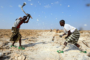 Afar men mining salt at Lake Assale. Danakil depression, Afar region, Ethiopia, March 2015.  -  Eric Baccega