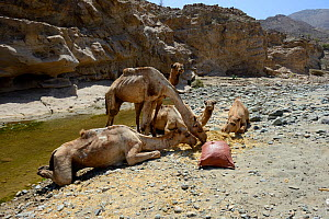 Caravan of Dromedary camels (Camelus dromedarius) feeding and drinking at the river, Saba Canyon. Transporting salt from the salt mine of lake Assale to the Mekele market,  Danakil depression, Afar re...  -  Eric Baccega