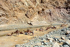 Caravan of Dromedary camels (Camelus dromedarius) and their pullers at a resting point, Saba Canyon. Transporting salt from the salt mines of lake Assale to the Mekele market,  Danakil Depression, Afa...  -  Eric Baccega