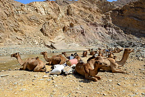 Caravan Dromedary camels (Camelus dromedarius) and their pullers at a resting point, Saba Canyon. Transporting salt from the salt mines of lake Assale to the Mekele market,  Danakil Depression, Afar r...  -  Eric Baccega