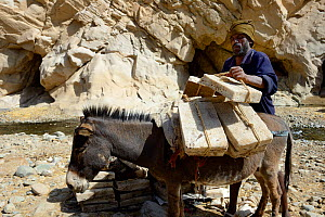 Man loading donkey with salt blocks after break. Salt is from the salt mines of Lake Assale, to bring them to the Mekele market, Saba Canyon, Danakil Depression, Afar region, Ethiopia, March 2015.  -  Eric Baccega