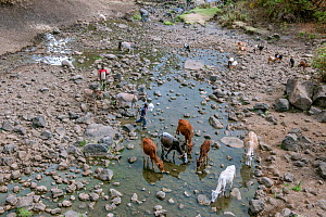 Cows and donkeys drinking from the Web River (Weyib River) in Islam�s sacred valley -  Sof Omar. Bale Province, Oromia Region, Ethiopia, Africa, March 2009.  -  Constantinos Petrinos