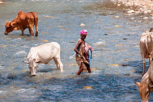 Young woman with clothes to wash, with cows drinking from the Web River (Weyib River) in Islam�s sacred valley - Sof Omar. Bale Province, Oromia Region, Ethiopia, Africa, March 2009  -  Constantinos Petrinos