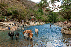 People washing clothes, and with cattle in the Web River (Weyib River) in Islam�s sacred valley - Sof Omar. Bale Province, Oromia Region, Ethiopia, Africa, March 2009.  -  Constantinos Petrinos