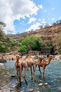 Dromedary camel (Camelus dromedarius) drinking water from the Web River (Weyib River) in Islam�s sacred valley - Sof Omar. Bale Province, Oromia Region, Ethiopia, Africa, March 2009  -  Constantinos Petrinos