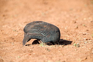 Helmeted guineafowl (Numida meleagris) looking for food, with head buried in hole,  Awash National Park, Afar Region, Great Rift Valley, Ethiopia, Africa, March. - Constantinos Petrinos